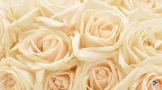 """Vaizdo rezultatas pagal užklausą """"white rose"""""""