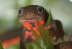 <p>Las salamandras son las reinas de la regeneración. /University of Tsukuba</p>