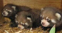 Trio 3 little noses peek into the World:Red Pandas Triplets at Red River Zoo,Fargo,N.Dakota<><>>