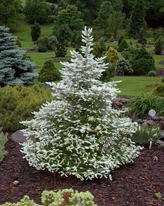 Grobe Nursery and Garden Centre is Waterloo Regions largest local, independent and family owned garden center. Specialists in plants of all kinds for the home garden and complete landscape design and landscape construction services. Garden Shrubs, Garden Trees, Lawn And Garden, Trees To Plant, Flowering Shrubs, Evergreen Landscape, Evergreen Garden, Evergreen Shrubs, Trees And Shrubs