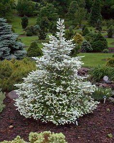 korean silver fir | Silver+Korean+Fir | Grobe's Nursery and Garden Centre - Newest ...