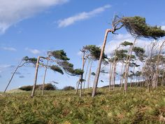 Windswept trees: Darsser, Germany
