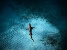 Lemon Shark, Bahamas  Photograph by Jorge Hauser, National Geographic Your Shot