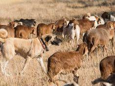 10 Popular Livestock Guardian Dog Breeds Large Dog Breeds, Large Dogs, Worlds Largest Dog, Kangal Dog, Akc Breeds, Anatolian Shepherd, Rottweiler Dog, Husky Dog, Great Dane Dogs