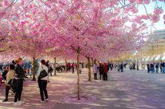 Natural Sakura in Haninge Centrum, Sweden