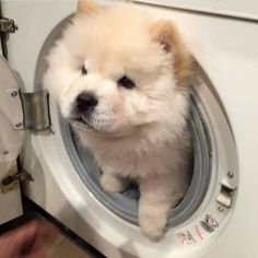 I used to be doing a laundry and look who I discovered Tag your good friend who's doing laundry… – Dog Gallery Fluffy Animals, Cute Baby Animals, Animals And Pets, Perros Chow Chow, Companion Dog, Cute Dogs And Puppies, Doggies, Cute Creatures, Dog Photos