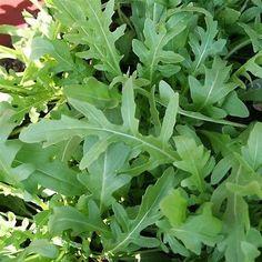 200+ Arugula Eruca Sativa Herb Seeds , Under The Sun Seeds
