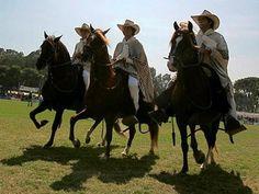 Amazing Peruvian Paso Horses