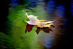 leaf floating on water - Google Search