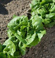 David's Garden Seeds Lettuce Bibb Buttercrunch (Green) 500 Non-GMO, Heirloom, Organic Seeds Edible Garden, Easy Garden, Lawn And Garden, Garden Fences, Organic Seeds, Grow Organic, Herb Seeds, Garden Seeds, Garden Plants