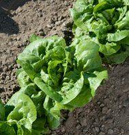 Lettuce Buttercrunch D435.A (Green) 1000 Seeds by David's Garden Seeds David's Garden Seeds,http://www.amazon.com/dp/B00DYYDOAM/ref=cm_sw_r_pi_dp_2KVXsb0M5J5NJSJW