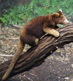 ARBOREAL KANGAROO  28 endangered animals