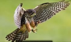 New Zealand Falcon http://www.wingspan.co.nz/birds_of_prey_gallery_falcon.html