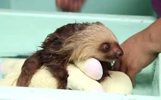 Who doesn't want to watch a video of a sloth taking a bath? Now prepare yourself to lose at least an hour of your life as you watch this video over and over again.