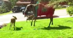 A Moose Family Can't Get Enough Of The Sprinklers (And We Can't Get Enough Of Them!) | The Animal Rescue Site Blog