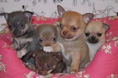 Chihuahua puppies.