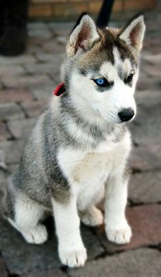 beautiful syberian huskey