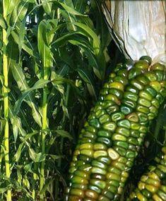 "Zea Mays Oaxacan Green Dent corn. This corn will be grown using the ""Three Sisters"" method. A triad of corn, beans and winter squash. This corn will make beautiful fall decorations. Exotic Fruit, Exotic Plants, Fruit And Veg, Fruits And Vegetables, Permaculture, Flint Corn, Glass Gem Corn, Rainbow Corn, Organic Seeds"