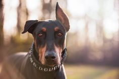 Sometimes, I wonder what I look like in his eyes. Apollo's Blue Deuce, the black & rust Doberman Pinscher, is always ready to strike a pose and give me a pouty frown. He knows he's handsome. Such a stud!