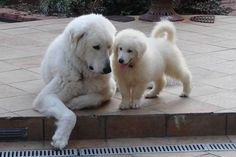 Kuvasz Dog Info with Cute Pictures