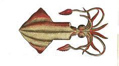 """Le #calmar commun, ou Loligo vulgaris est l'espèce la plus courante en Atlantique et en Méditerranée. Ce #prédateur vit surtout la nuit pour chasser. Il se nourrit de petits #poissons qu'il attrape grâce à 10 tentacules qu'il porte au niveau de sa tête - 8 de taille égale et deux autres plus longs, dont les terminaisons sont munies de ventouses plus importantes pour capturer ses proies. La bouche est équipée d'un """"bec de perroquet"""" puissant #numelyo #bestiaire #aquatique"""