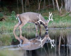 Elk at Apple Creek Whitetail Ranch Archery Hunting, Deer Hunting, Deer Pictures, Deer Pics, Big Deer, Deer Family, Whitetail Bucks, Antlers, Shark