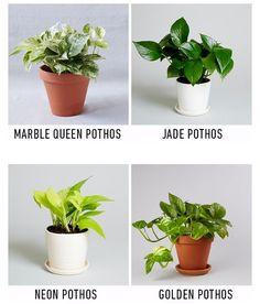 Pothos Plant Varieties : Marble Queen, Jade, Neon, and Golden