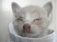 Image result for Feline Leukemia Symptoms Eyes