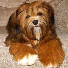 What a beauty Teddy Grahams, Havanese Dogs, Lhasa Apso, Pet Stuff, Great Friends, Big Dogs, Beautiful Dogs, Dog Treats, Beautiful Creatures