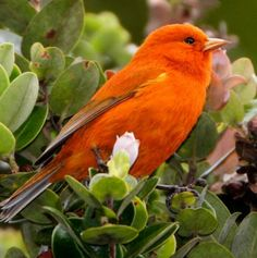 Male Hawaiian Akepa is rare and the smallest bird in Hawaii. The ʻakepa (Loxops sp.) are a group of one of the smallest Hawaiian forest birds, at four inches long and weighing 10 grams. Adult males sport one of the most brilliant orange colors found in any bird, a plumage which takes four years to develop. The 'Akepa are highly endangered.