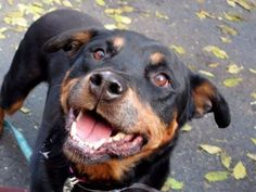 TO BE DESTROYED FRI. 11/14/14 - Manhattan Center   FIFI - A0692145 (Alternate ID# A1019255) *** RETURNED ON 10/31/14 - STRAY - EXPERIENCED HOME ***  SPAYED FEMALE, BROWN / TAN, ROTTWEILER MIX, 4 yrs  STRAY - ONHOLDHERE, HOLD FOR ID Reason STRAY