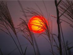 "Setting Sun, Orange Photos - A burning orange sun sets behind a fringe of pampas grass in Japan. Japan's nickname, ""The Land of the Rising Sun,"""