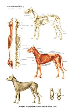 Anatomy Drawing Anatomy - Dog anatomy poster created using vintage images. The poster shows the superficial muscles, skeletal system with surface anatomy. Superior view of the spinal column with musculature for veterinary acupuncture and chiropractic. Dog Anatomy, Animal Anatomy, Anatomy Drawing, Skeletal And Muscular System, Skeletal System, Dog Skeleton, Human Figure Drawing, In The Zoo, Anatomy Reference