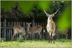 antilopi ca bevilacqua
