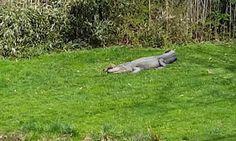 #Prairie #dog taunts #gator by sitting on head...