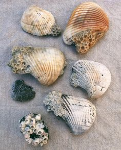 Shells being overtaken by coral and barnacles