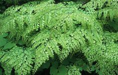 Himalayan maidenhair fern (Adiantum venustum) for the Pacific Northwest shade garden. Regions of your backyard that face Western or South in a natural Garden Show, Dream Garden, Home And Garden, Sarah's Garden, Evergreen Ferns, Maidenhair Fern, Shade Plants, Trees And Shrubs, Back Gardens