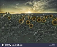 Download this stock image: Sunflower field as sun sets behind hill. - S0K017 from Alamy's library of millions of high resolution stock photos, illustrations and vectors.