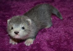 Ferret this is the cutest little thing I ever saw Baby Ferrets, Funny Ferrets, Pet Ferret, Baby Otters, Animals And Pets, Baby Animals, Cute Animals, Beautiful Creatures, Animals Beautiful