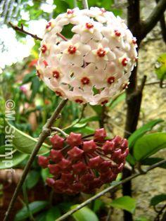 Hoya carnosa flor-de-cera