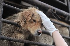 Saved from the slaughterhouse: An animal lover consoles one of about 500 dogs riding in a convoy of trucks that was stopped along a highway in Beijing. The dogs, which were to have been sold for meat, were later rescued by the China Animal Protection Association.