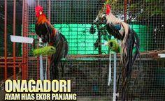 Ayam hias onagadori Game Fowl, Live Casino, Rooster, Dan, Chicken, Animals, Animales, Animaux, Animal