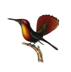 Ce petit #oiseau, long de 8,1 cm et lourd de 3,5 g, fait parti de la grande famille des #colibris. Il peuple les campagnes, les jardins et les cultures dans les Petites Antilles et dans le nord tropical de l'Amérique du Sud. Par rapport à la plupart des autres colibris, son bec noir presque droit est relativement court #numelyo #volatile #nature #faune