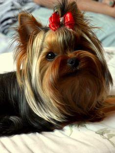 #Yorkie #Puppies