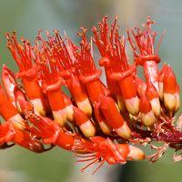 Common Wildflowers - Fouquieria splendens – Ocotillo