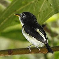 The Black-and-white Tody-Flycatcher (Poecilotriccus capitalis) is a species of bird in the Tyrannidae family.formally known as the Black-and-white Tody-Tyrant.[2] It is found in thickets, especially bamboo, in southern Colombia, eastern Ecuador, eastern Peru, and south-western Brazil., photo by B Herrera