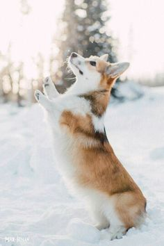 Magical Corgi ♡.                                                                                                                                                                                 Plus