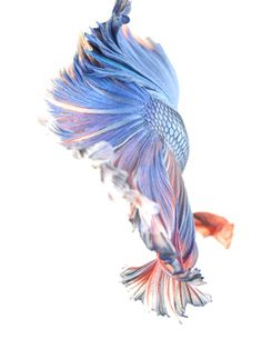 FF-100 Photo from www.dee-studio.com Fish Wallpaper, Live Wallpaper Iphone, Pretty Fish, Beautiful Fish, Beautiful Creatures, Animals Beautiful, Fabric Fish, Drawn Fish, Beta Fish