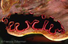 Flatworm Pseudobiceros gloriosus - Raja Ampat, Indonesia