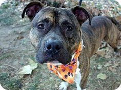 Ridgewood, NY - American Pit Bull Terrier Mix. Meet Banksy a Dog for Adoption.